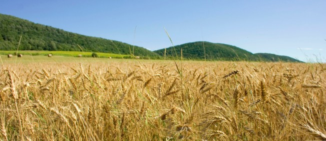 Felsoetold_Wheat_field,_Hungary